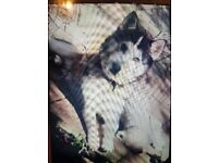 Husky for sale - 3.5 years old