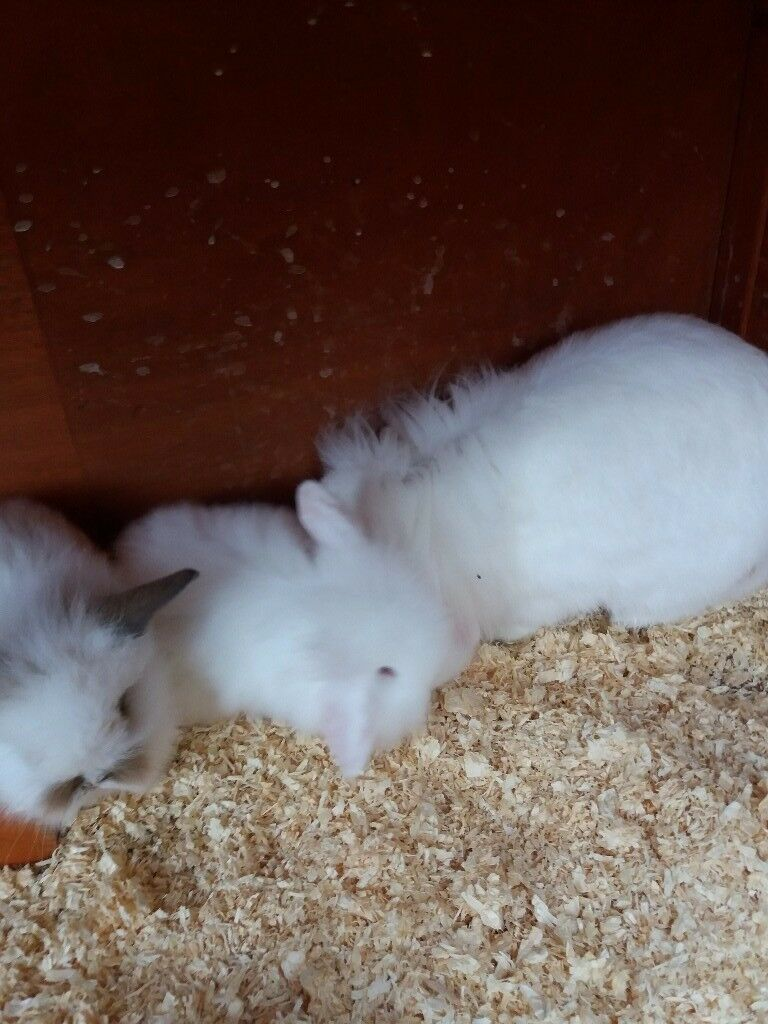 Mini lionhead lop bunnies for sale