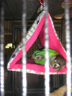 pet sitting (birds) (ask about the school holiday special) Kallangur Pine Rivers Area Preview