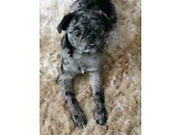Rare Merle pug