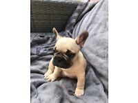💙💥💙💥 French bulldog puppies