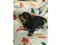 mini longhaired dachshund pup