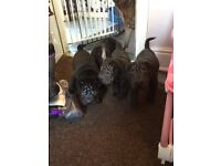 stunning dark shar-pei puppies, 2 boys & 2 girls