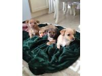 Norjack puppies for sale