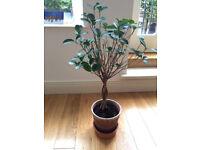 IKEA ficus plant