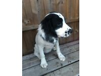 Springer spaniel | Dogs & Puppies for Sale - Gumtree