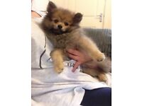 Pomeranian boy full kc registered!!!!