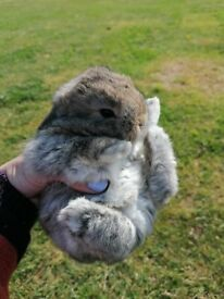Amazing purebred Dwarf-lop baby rabbits for sale!