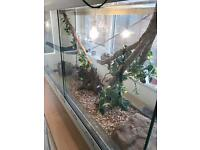 Corn snakes x3, with full set up