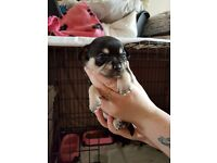 6 Chihuahua puppies for sale 3 male 3 female will be 8 weeks old on the 10th of July