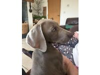 Weimaraner X pups for sale