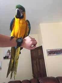Blue &Gold Macaw 19 weeks old full package, cage ,play gym, food