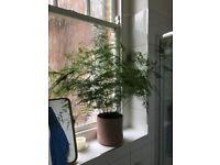 Asparagus Fern and Pot