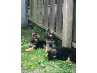 Full pedigree German shepherd puppies