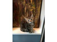 Very friendly Tabby kitten
