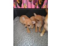 KC reg Chihuahua puppies for sale.