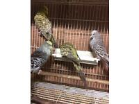 English Budgie for sale