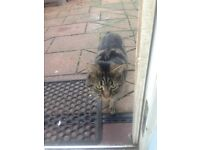 16month female tabby, spade, raised with children & dog, daughter allergic.