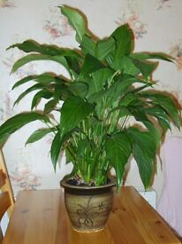 Large Peace Lily and Pot