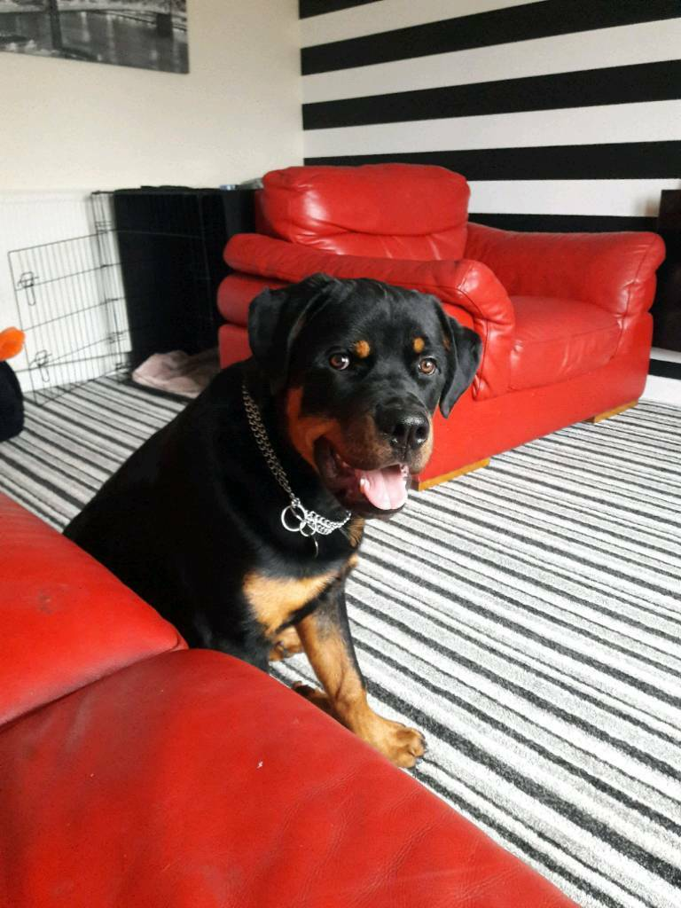 Rehomed pending ....7 month old Rottweiler