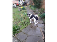 Lovely young dog needs home for life