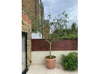 Large olive tree 3m in large terracotta pot