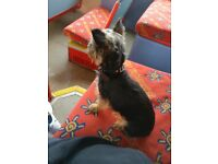 Miniature Yorkie dog