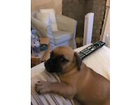 Pug x dachshund pup 4 months old , has had all vaccinations and chipped