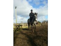 mountain and moorland 13.2hh pony, mare grey.