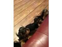3 BEAUTIFUL PURE BRED YORKSHIRE TERRIER PUPPIES FOR SALE AND READY FOR LOVING HOMES.