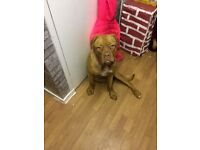 French mastiff £650