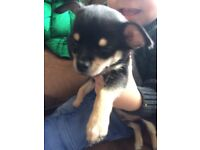 Chihuahua pup male Black and Tan 8 wks old