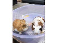 3 gorgeous Male guinea-pigs