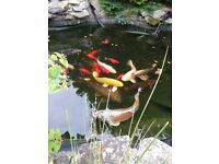 Koi carp and other pond fish for sale .