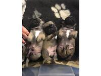 Kc pug puppies