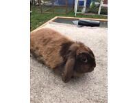 Lop ear bunny