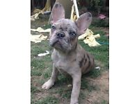 Merle French bulldog boy with kc papers