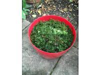 FREE: good quality Hornwort native oxygenating pond plant