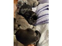 French Bulldog X Puppies - ALL PUPS RESERVED