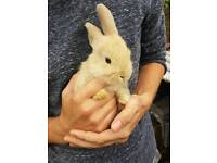 11 week old girl rabbit