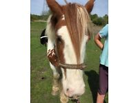 Red and white cob mare