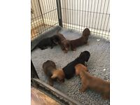 Stunning Miniature Dachshund Pups