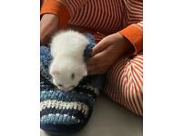 Gorgeous white kittens for sale