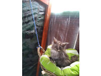 Girl Main Coon Kittens for Sale