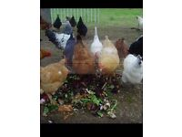 Chickens for sale £8 each or 2 for 15