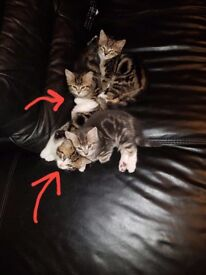 2 Kittens for sale (sold pending collection)