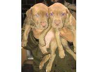 staffordshire bull puppy's