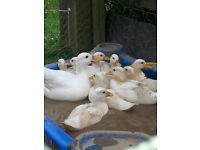 Beautiful white call ducks