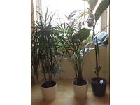 3 big green plants with pots