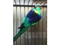 Beautiful Barnard parakeet for sale